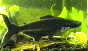 Kontraverzní pangas - sumeček žraločí